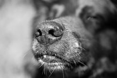 Mister wet nose (AlphaAndi) Tags: mono monochrome trier tiefenschärfe urban dof dog tier animal hund wow fullframe vollformat