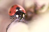 Coccinelle (jade_or89) Tags: coccinelle macro macrophoto d7000 sigma105mm insecte nature bokeh