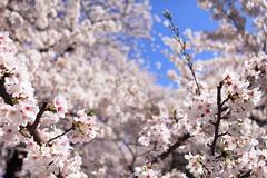 IMG_3835 (hauko) Tags: canon5dmarkⅱ nature flower japan tokyo cherryblossoms sakura nakameguro bird mejiro