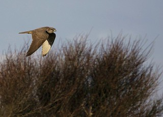 Young Gyrfalcon flying by...