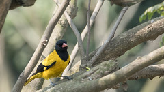 DSC_0357.jpg (naser7363) Tags: blackheadedoriole birds