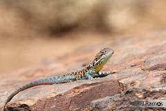Red-barred dragon (Ctenophorus vadnappa) (J.Ramos15) Tags: agamidae agamid lizard reptile australia male breeding red barred dragon