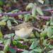 Pouillot véloce (Phylloscopus collybita).jpg (geayves) Tags: pouillotvélocephylloscopuscollybita passereaux