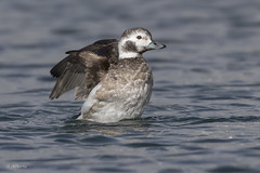 Long-tailed Duck / Harelde kakawi (shimmer5641) Tags: clangulahyemalis longtailedduck hareldekakawi oldsquaw birdsofbritishcolumbia birdsofnorthamerica