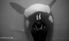 Inverse Wikie (GALINETTE1208) Tags: marineland antibes orca orque killer whales black white wikie complicity complicité soigneur trainer cetacean mammifere mld 2018 nikon d5200