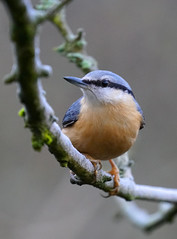 Eurasian nuthatch (Mark BJ) Tags: daisynook countrypark failsworth manchester uk oldham nuthatch sittaeuropaea eurasiannuthatch eyestripe black woodland branch bluegrey wings orangered chest feathers claw grip plumage tree forest hollinwoodcanal