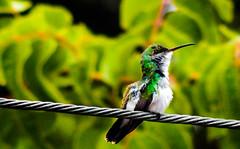 DSCN7656 - Cópia (yurijamison) Tags: beija flor bird birds beijaflor coolpix xoom zoom nectar natureza nature ntureza green ave aves observação amador lightroom vsco fotor