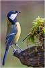 Great Tit (fausto.deseri) Tags: greattit parusmajor cinciallegra wildlife nature birds wildanimals nikond7100 nikkor300mmf28afsii nikontc17eii faustodeseri