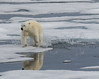 polar bear  arth wen (alunwilliams155) Tags: ursusmaritimus arthwen polarbear ice svalbard sea