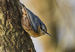 Nuthatch - Wannabe Woodpecker (Ann and Chris) Tags: avian bird beak cute close feathers gorgeous nuthatch wood forest wildlife wild tree