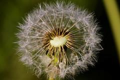 Pusteblume (Zoom58.9) Tags: natur pflanzen makro plant flower nature macro canon eos 50d grün green pusteblume dandelion deutschland