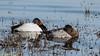 Canvasback pair (lhc005) Tags: bird canvasback female male pair