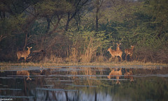 keoldeo-bharatpur-bird-sanctuary-1-3 (101) (jjamwal) Tags: birds birdwatching travel tamron nikon wildlife nature animals india