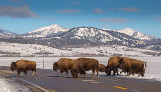 Bison crossing Highway 89, near Elk Flats turnout