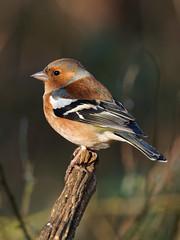 Chaffinch (martin_swatton) Tags: rspb blashford lakes hampshire uk birds wildlife olympus omd em1 mk1 mzuiko 300 f4 pro