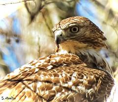 Red-tailed Hawk (Suzanham) Tags: bird hawk redtailed tree animal profile portrait feathers nature wildlife forest noxubeewildliferefuge mississippi buteojamaicensis perching