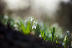 Today the Sun Shone (paulapics2) Tags: earth ridge slope snowdrops flowers plant nature outdoor garden hydehallgardens bokeh bulbs depthoffield canoneos5dmarkiii canonef70300mmf456lisusm closeup january winter green firstflowers