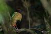 Noisy Pitta (R. Francis) Tags: pittaversicolor noisypitta dorrigo dorrigonationalpark nsw newsouthwales northernnsw midnorthcoast ryanfrancis ryanfrancisphotography