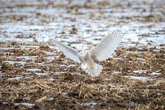Snowy Owl (Explore 18-01-29) (fsong) Tags: snowy owl