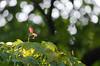 224/365 - Seed (Spannarama) Tags: 365 august tree leaves seed backlit glowing sunlight sunshine japanesemaple outofmywindow