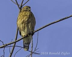 Red-shouldered Hawk IMG_7323 (ronzigler) Tags: birdwatcher birdofprey avian wildlife nature bird raptor redshouldered hawk