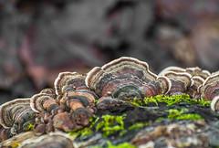 Fungus Art. (Omygodtom) Tags: macro macrodreams mushrooms mushroom fungus outdoors oaksbottom flora fence decay compost common nikon70300mmvrlens digital d7100 dof wild detail moss trail path