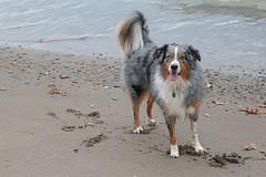 Erie Dog (peterkelly) Tags: digital canon 6d wheatley ontario canada lakeerie greatlakes dog beach sandy sand shore shoreline water northamerica