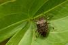 DSC_0176 (Hachimaki123) Tags: 虫 nara 奈良 萬葉植物園 manyobotanicalgardens 日本 japan animal 動物 insect insecto chinche chinchedecampo