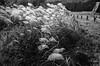 Fortress fields (koribrus) Tags: fe monochromatic film photography 125asa nikon lens fp4 kori korea manual jeolla monochrome black blanco ilford white koribrus nikonfe noiretblanc 125iso blanc focus prime filmisnotdead ilfordfp4 blacknwhite blackwhite south 35mm suncheon noir blancoynegro ais brus blackandwhite believeinfilm nikkor ai analog