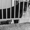 Stare Down 041/365 (Watermarq Design) Tags: dogs labs blacklabs blackandwhite pups stare stairs 365project