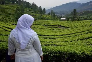INDONESIEN, Java , Teeplantagen am Puncak-Pass, 17119/9607