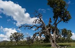 Angophora subvelutina (dustaway) Tags: landscape rurallandscape ruralaustralia trees myrtaceae angophorasubvelutina roughbarkedapplegum paddocktrees wallangarra granitebelt sequeensland queensland australia