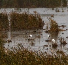 Dixon_JB_475_closeup_3988-2 (Joanne Bouknight) Tags: dixonwaterfowlrefuge greategret illinois mist morning observationtower rain storm thewetlandsinstitute
