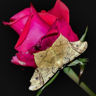 Semiothisa cf. festivata - Semiothisa Moth (Guenée, 1858)