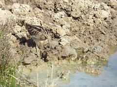 Bécassine des marais (charvin7352) Tags: bécassinedesmarais becassine oiseau ornithologie oiseaux ornithology bird birds animalier animaux animals animal leteich