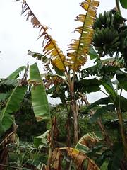 Banana (Variety: Koa e Kea): Fusarium wilt (Panama disease) (Plant pests and diseases) Tags: musa banana fusarium oxysporum f sp cubense panama disease wilt vascular necrosis pseudostem fruit petioles