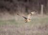 Short Eared Owl quartering the field, Dorset, UK (conrad_hanchett) Tags: seo shortearedowl dorset portland 150600 sport nature photography owl portlandbill