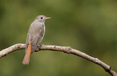 RUSTY TAILED FLYCATHER (arvindkarthik) Tags: birds flycatcher nikon nature