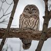 BarredOwlBoyfriend (jmishefske) Tags: 2018 bird nikon winter halescorners birdofprey d500 owl whitnall february barred park milwaukee wisconsin