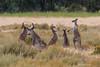 Unruly Youth (The Gullet) Tags: easterngreykangaroo kangaroo southaustralia onkaparinga suburbia suburbanwildlife nikon d500 boxing biffo immature adelaide