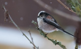 Generally jumpy this Long Tailed Tit stayed still for 10 Seconds