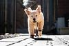 Playful Puppy Girl (EriccpSam) Tags: dog puppy girl running sport fujiflim xt2 play animal pet love golden retriever 金毛尋回犬