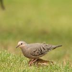 Rolita,common ground dove (Columbina passerina)