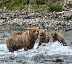 Teaching the Cubs (cheryl strahl) Tags: alaska katmainationalparkandpreserve wild bears grizzlybears brownbear fishing sockeyesalmon teaching cubs creek salmon waiting
