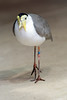 Masked Lapwing (dpsager) Tags: bird chicago dpsagerphotography lapwing lincolnparkzoo maskedlapwing zoo