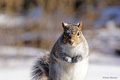 """Eastern Gray Squirrel Giving me """"That Look"""" (Anne Ahearne) Tags: gray grey squirrel cute wild animal wildlife nature snow winter"""