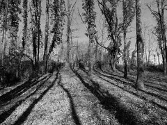Shading !!! (François Tomasi) Tags: arbres trees tree monochrome blackandwhite noiretblanc touraine indreetloire lanouvellerépublique yahoo google flickr nature françoistomasi tomasiphotography photo photographie photography photoshop reflex nikon pointdevue pointofview pov light lumière shading campagne filtre traitementdimage digital numérique janvier 2018 hiver winter