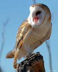 Common Barn Owl (dpsager) Tags: arizona arizonasonoradesertmuseum bird dpsagerphotography tucson barnowl owl