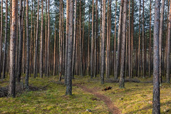 A Simple Forest (modestmoze) Tags: forest 2017 december winter grass green brown path trees lithuania outside outdoors travel explore shadows black sky blue view interesting lines tall many nature scenery naturephotograph naturelove landscape