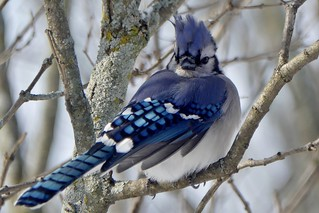 Blue Jay with his Head on Backwards